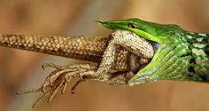 Lizard for Lizard
