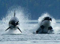 Fantastic shot of Orca whales