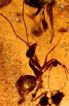 Ant stuck for 50 million years in huge amber deposit found in India.