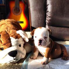 Ugh, I can't. I simply cannot with you, Winston! English Bulldog Art, English Bulldog Puppies, English Bulldogs, Kittens And Puppies, Cute Puppies, Cute Dogs, Cute Dog Pictures, Animal Pictures, Baby Animals