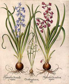 Ornithogalum minus Star-of-Bethlehem ; Hyacinthus Orientalis variegatus Hyacinth ; Hyacinthus Orientalis mixtus Hyacinth   Basil BESLER