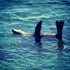 Hi five Mr Seal....#rottnest #rottnestisland #ocean #seal #sealife #seal #australia #oz #westaustralia #surf #highfive by chelle_sarah http://ift.tt/1L5GqLp