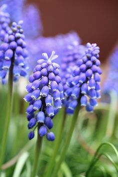 Muscari - AKA Grape Hyacinths. My mom grew these and they ended up taking over the back yard...so pretty