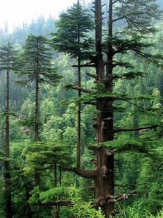 6. Here is a superb tree growing out of a tree - It is a part of the Western Himalayan sub-alpine conifer forests in Northern Pakistan.