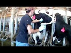 Undercover investigation revealed cruel abuses against dairy cows on farms used by Burger King and Kraft Foods. Led to the arrest and charges of 3 people and a manager. Please consider signing Mercy For Animals petition against cruelty on all animal farms and dairies.
