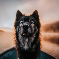 Hiking And Camping A Perfect Combination Cute Dogs Breeds, Cute Dogs And Puppies, Dog Breeds, Doggies, Agouti Husky, Siberian Husky Dog, Animals And Pets, Funny Animals, Cute Animals