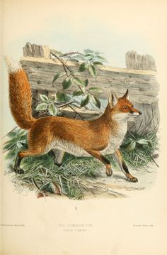 Illustrations de canidés - renard commun ou roux - canis vulpes vulpes - Gravures, illustrations, dessins, images