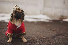 Little pug is stylin'