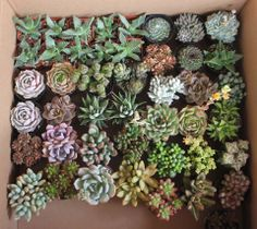 Assorted potted succulents ready to be shipped. http://thesucculentsource.com/