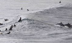 Bondi Beach surfers compete for early morning waves... with a pod of dolphins #DailyMail