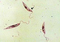Leishmania Promastigotes