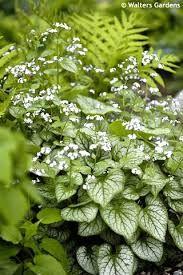 BRUNNERA macrophylla 'Mr. Morse' - Kærmindesøster, farve: hvid/hvidbroget løv, lysforhold: halvskygge, højde: 30 cm, blomstring: maj - juni, god til bunddække.
