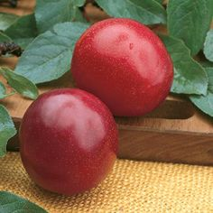 Zone 5-9, 3-6 yrs to bear, self pollinating  Beautiful, large, red fruits with gold flesh. This big producer from Luther Burbank bears sweet plums that are delicious when eaten fresh, cooked or canned. The tree is vigorous and easy-to-grow. Heat-tolerant. Clingstone. Ripens in mid July. Self-pollinating.