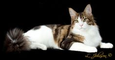 Tropikoons Hot Fudge of Kiyaras---Best International Kitten/Best Maine Coon Kitten 2013/14