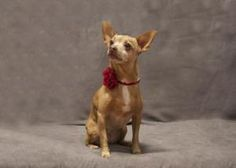 Ruby is a sweet chihuahua/min pin mix. She is relatively calm and is content with a good walk around the block and then a romp and play with her brother, Shorty. //Don't forget to repin!