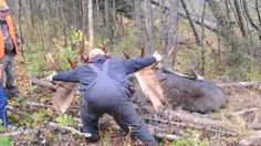 """64"""" Bull moose scoring 197 B&C  taken at Tylor Kellys Camps in Allagash Maine Zone 1 in 2013.  Guided hunts and Cabin Rentals www.allagashhunting.com"""