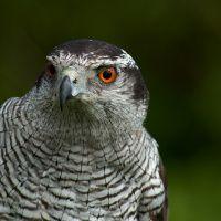 Gobsmacking goshawk manoeuvrability put to the test - Ireland's Wildlife Ireland, Wildlife, Birds, Amazing, Nature, Animals, Naturaleza, Animales, Animaux