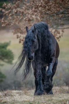 Black Friesian strolling in the pasture.