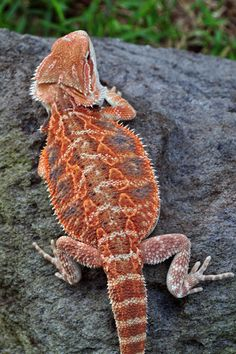 Yellowroom Reptiles Lizards and More Lizards: Photo of Red Bearded Dragon Cute Reptiles, Reptiles And Amphibians, Mammals, Animals And Pets, Baby Animals, Cute Animals, Beautiful Creatures, Animals Beautiful, Beautiful Boys