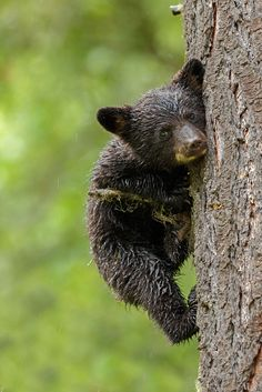 A little black bear cub holding firmly a tree in the rain. I took this picture on my trip to Canada. By Menno Schaefer Nature Animals, Animals And Pets, Wild Animals, Beautiful Creatures, Animals Beautiful, Cute Baby Animals, Funny Animals, Black Bear Cub, Cute Bear