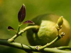 Ein Zitronenbaum wirft Blätter ab, wenn sein Standort nicht optimal ist oder sich diese abrupt ändern. Der Beitrag nennt Ursachen und Gegenmaßnahmen.