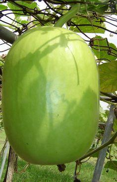 Growing Veggies, Planting Vegetables, Fresh Fruits And Vegetables, Fruit And Veg, Exotic Fruit, Tropical Fruits, Exotic Plants, Fruit Plants, Fruit Trees
