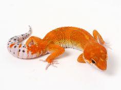 Tangerine Leopard Gecko - 082515B - male | Leopard Geckos