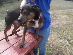 this is a female rat terrier/beagle mix, black and tan and white, short hair and a medium size, friendlyOur adoption fee is $72.00 and includes the spay or neuter which is done after the adoption has been approved and Dog License. Dogs at the pound..