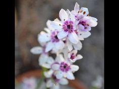 Wurmbea stricta - Onixotis stricta - Cherry Blossom Bulb Flower Bulb Flowers, Cherry Blossom, Garden, Plant, Garten, Lawn And Garden, Gardens, Gardening, Cherry Blossoms