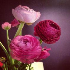 Ranunculus (in my office).