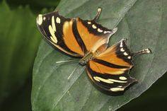 Tiger Leafwing   Flickr - Photo Sharing!