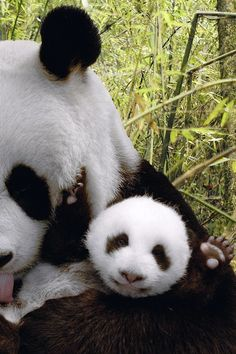 """Yay for baby pandas!"""