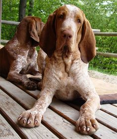 #Bracco #Italiano, or Italian Pointer - the most popular dog breed for hunting in Italy. Read about it here! http://www.fordogtrainers.com/index.php?main_page=page&id=582