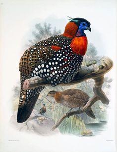 Western Tragopan (Tragopan melanocephalus) D. J. Elliot 1872