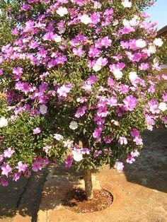 Manacá da Serra  Do not plant this on a windy balcony!