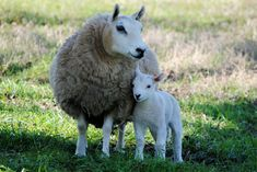 This is the breed of sheep I would like to have on my farm :) Mini Cheviot Sheep, by Terry Babb