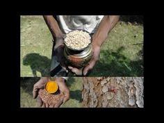 Medicinal Rice P5O Formulations for Wigandia  Excess: Pankaj Oudhia's Me...