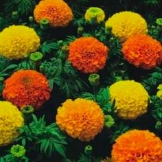 Crackerjack Marigolds