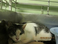 RAFFLES has been rescued by CAT ADOPTION TEAM, WILMINGTON!