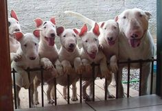 Bull Terrier Mom and Pups - love the high brow pup Mini Bull Terriers, English Bull Terriers, Perros Bull Terrier, Bull Terrier Puppy, Terrier Puppies, Animals And Pets, Funny Animals, Cute Animals, Funny Dogs