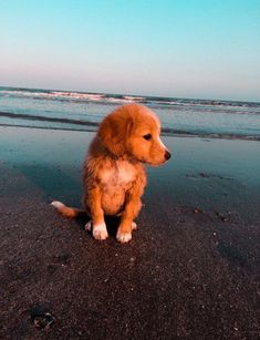 Cute pup on the beach aww cute animals cats dogs Super Cute Puppies, Baby Animals Super Cute, Cute Baby Dogs, Cute Little Puppies, Cute Dogs And Puppies, Cute Little Animals, Cute Funny Animals, Doggies, Cute Animals Puppies