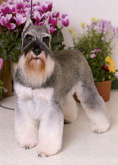 プラッキング・スタイル --愛犬の友 ヘアスタイルカタログ--