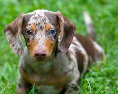 dapple dachshund | Tumblr