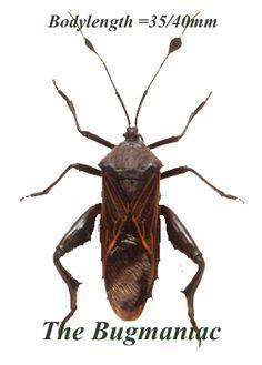 Hemiptera : Thasus neocalifornicus - The Bugmaniac INSECTS FOR SALE OTHER INSECTS FOR SALE OTHER INSECTS BY ECOZONE PALEARTIC ECOZONE + N-AMERICA HETEROPTERA