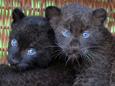 Black Panther Leopard: 10  handpicked ideas to discover in Other ...