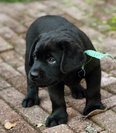 Cute black Labrador puppy. I wish.....
