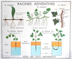 Items similar to RARE - Botanical - Vintage - Large stunning French School Poster ROSSIGNOL - double-sided. Adventitious roots - Stems on Etsy Science Art, Life Science, Eco Garden, French School, School Posters, Life Cycles, Natural History, Horticulture, Botany