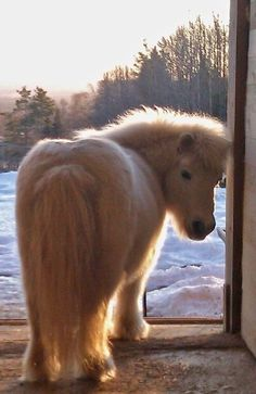 Our mascot, 27 year old shetlandpony who walks around the yard and just charms everybody! Pretty Horses, Horse Love, Beautiful Horses, Animals Beautiful, Beautiful Creatures, Poney Miniature, Miniature Ponies, Cute Baby Animals, Animals And Pets