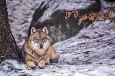 Wolk in het Bayerische Wald. Ik tot mijn knieën in de sneeuw hij (zij?) valt bijna in slaap. Denk ik. #willemlaros.nl #flickr #photography #travelphotography #traveller #canon #canonnederland #canon_photos #fotocursus #fotoreis #travelblog #reizen #reisjournalist #travelwriter#fotoworkshop #reisfotografie #landschapsfotografie #follow #instalaros #natuur #nature #bayerischewald #duitsland #germany #fb