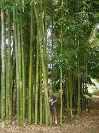 bamboo gracilis - Google Search